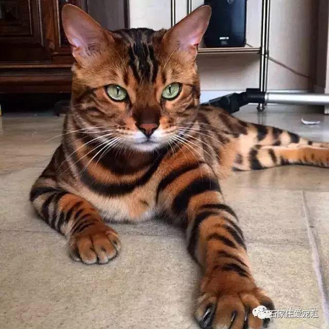 Thor el gato de Bengala con un pelaje exótico que cautiva a los amantes de los gatos.