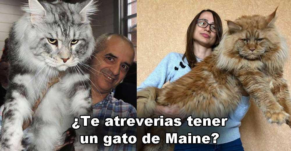Gato de Maine, el gato domestico mas grande del mundo